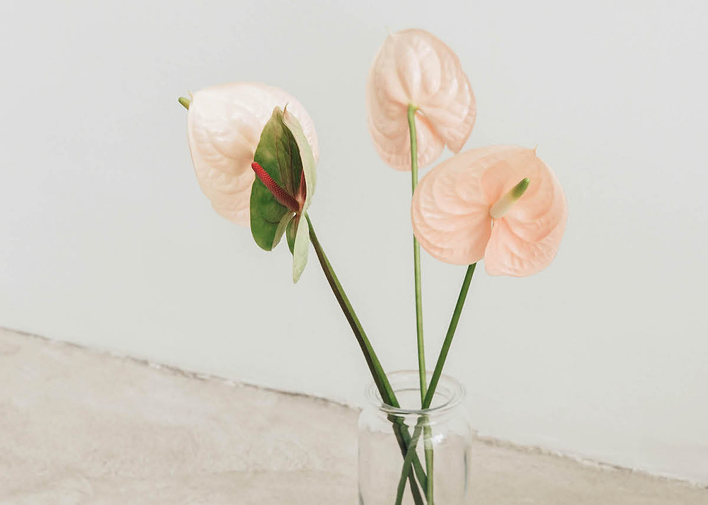 blush anthurium flowers in vase