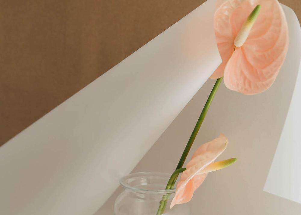 blush anthurium flower