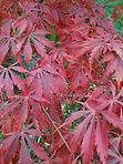 red maple 1.jpg