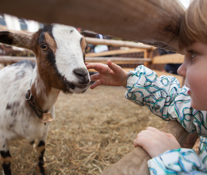 A young girl feeding goat. Close up on h