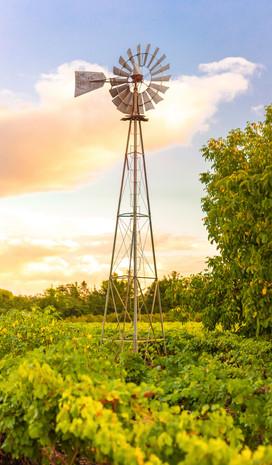 Titus Vineyards Windmill