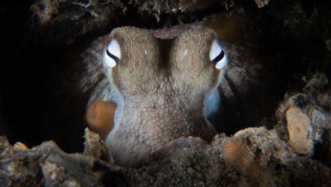Gloomy octopus