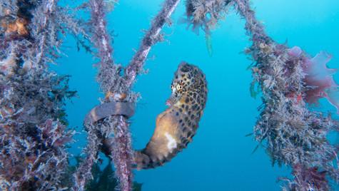 Potbellied seahorse