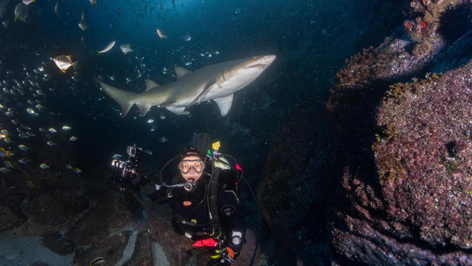 Grey Nurse Shark and Diver