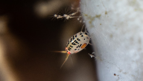 Ladybug Aphid