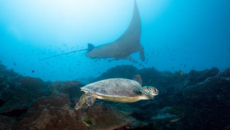 Manta ray and turtle