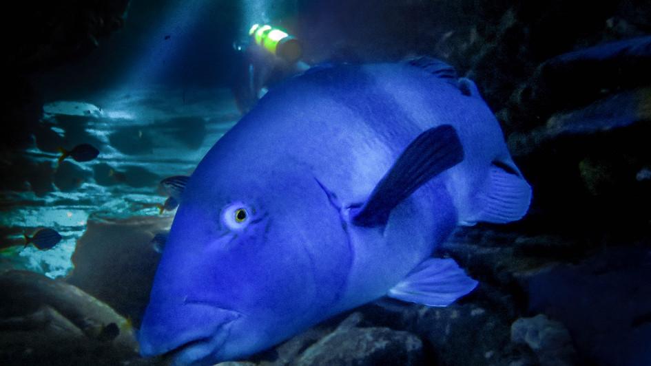 Blue Groper in Bondi Caves