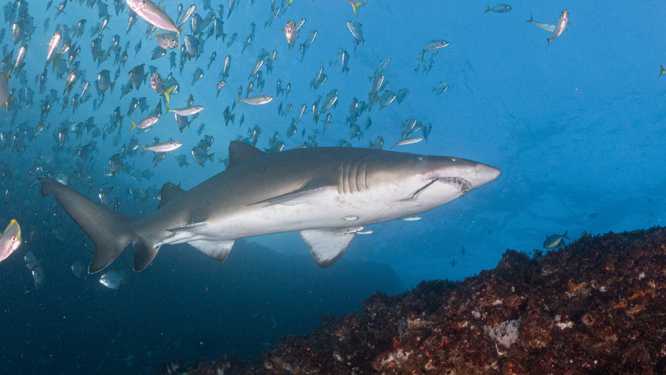 Grey Nurse Shark with a hook in mouth