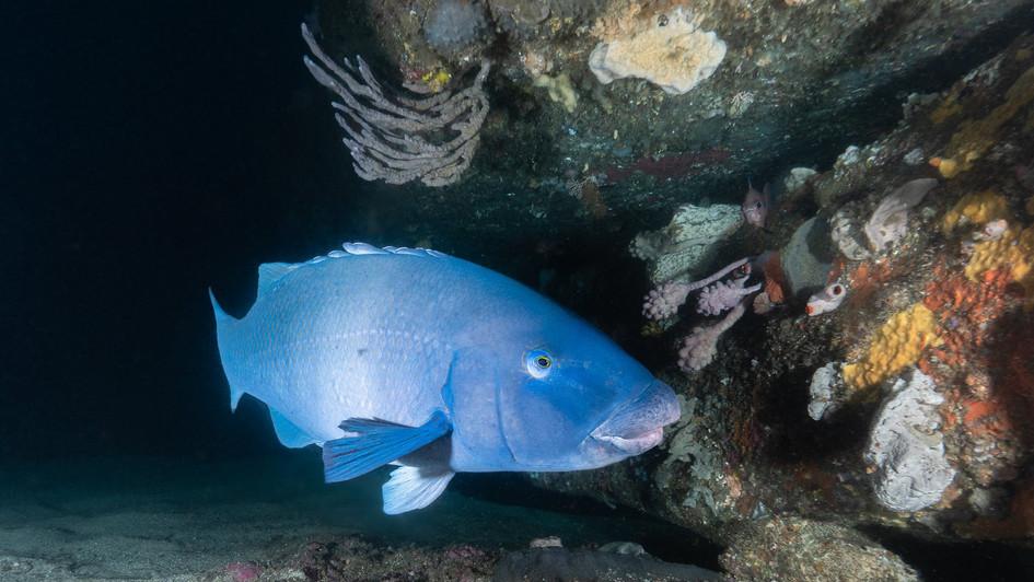 Blue grouper