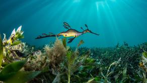 URG Weedy Seadragon Research Update