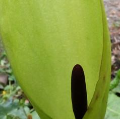Lords and Ladies                    Arum maculatum