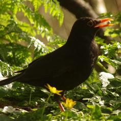 Blackbird Turdusmerula (male)