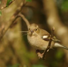 Chaffinch  Fringilla coelebs