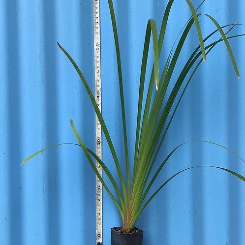 Lomandra longifolia 50mm