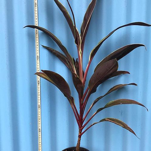 Cordyline fruticosa 140mm