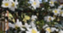 Setsugekka Camellia2.jpg