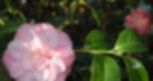 Debutante Camellia.jpg