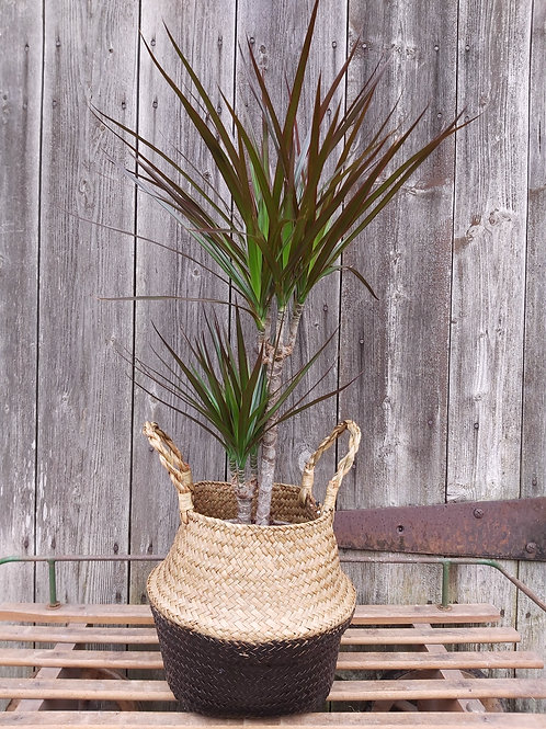 Dracaena Magenta House Plant