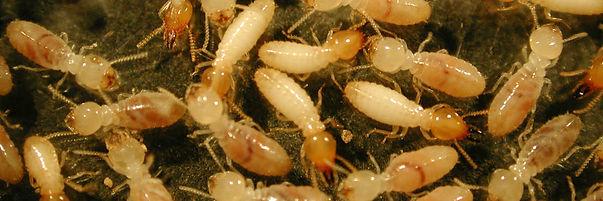 main_banner-termite.jpg