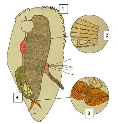 Mussel Anatomy
