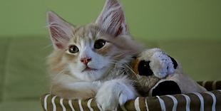 Goede oren katten