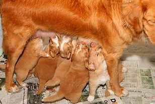 bevalling pups