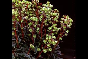 Euphorbia amygdaloides Purpurea_small