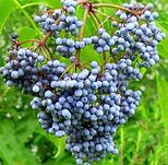 Black Elder Berry.png