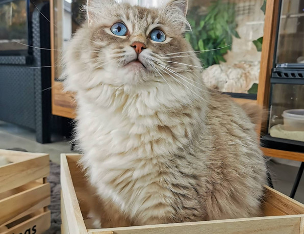 ragdoll blue tabby colorpoint
