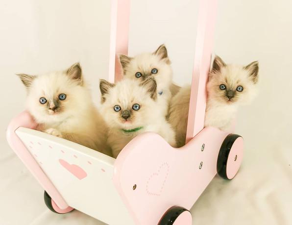 poussette chatons