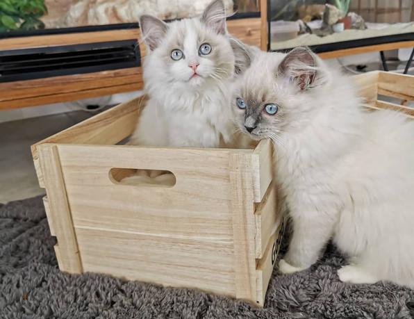 chatons ragdolls