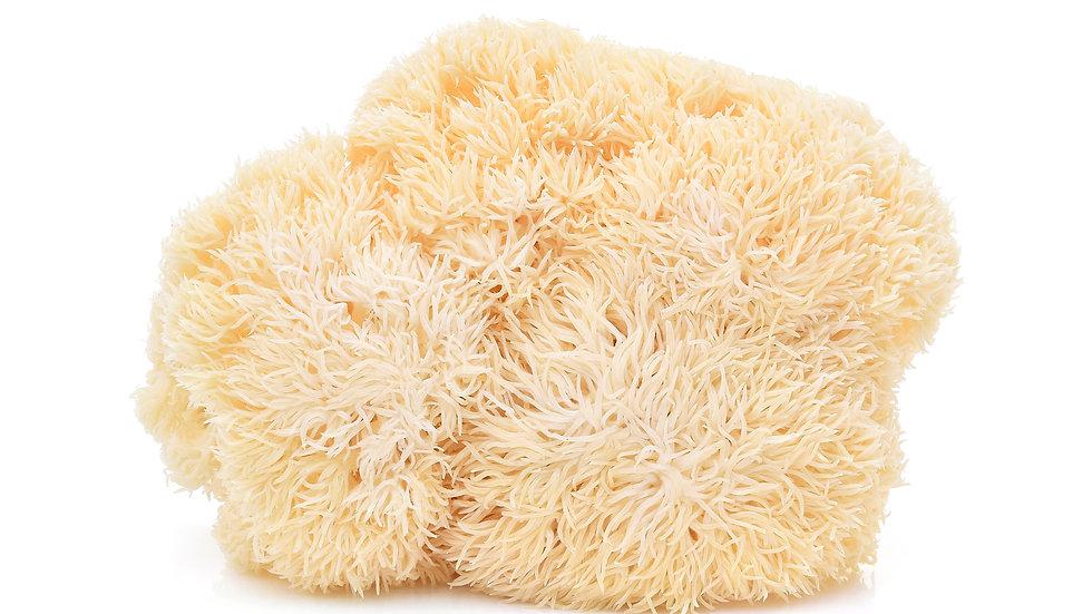 Lion's Mane mushroom spores