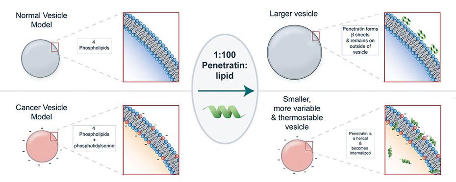Applications of penetratin