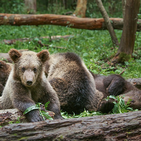 It's No Picnic For The Brown Bears Of Russia