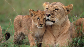 Last of the lions? The ongoing battle to prevent lion extinction by 2031