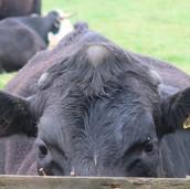 Peak District Cows