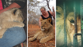 Take A Stand To Save Over 8,000 Lions - Destined For Death 'Just For Fun!'