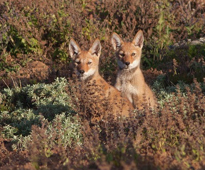 Born Free protecting endangered Ethiopian Wolves