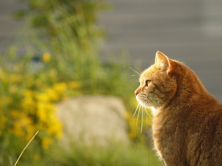 Soaring temperatures put cats at risk of skin cancer!