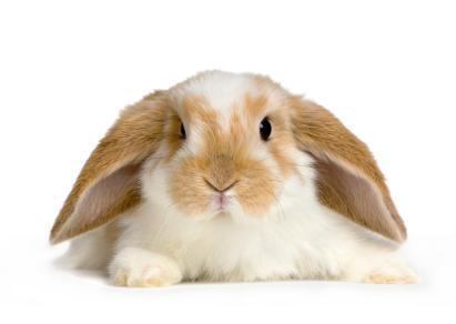 140633-411x292-lop-rabbit