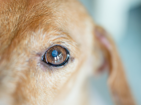 Coping With Blindness In Dogs