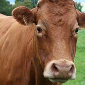 Shropshire Cows