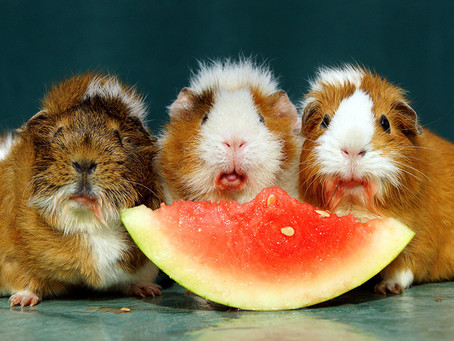 When it comes to Guinea Pigs, what's not to love?