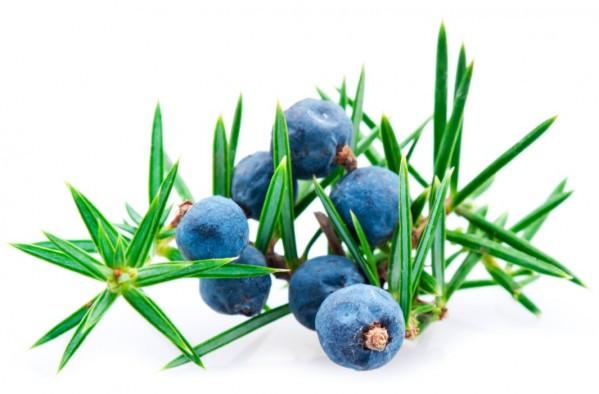 juniper berry.jpg