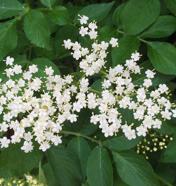 Sambucus-Nigra-Flowers.jpg