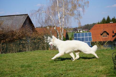 white swiss shepherd Berger Blanc Suisse Weißer Schweizer Schäferhund Graz Viking Legacys vikinglegacys Amore Mira of Carinthian Stars Steiermark Welpe