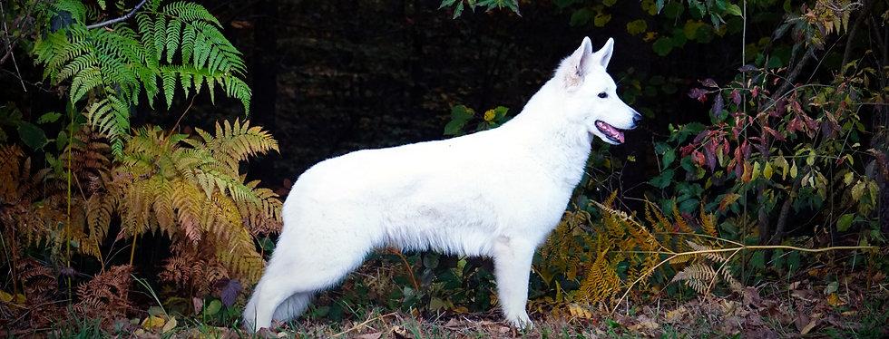 Berger Blanc Suisse Weißer Schweizer Schäferhund Graz Viking Legacys vikinglegacys Amore Mira of Carinthian Stars Steiermark Welpe