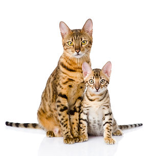 two bengal cats. mother cat and cub. isolated on white background.jpg