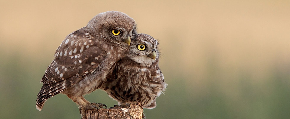 two%2520brown%2520owls%2520perched%2520o