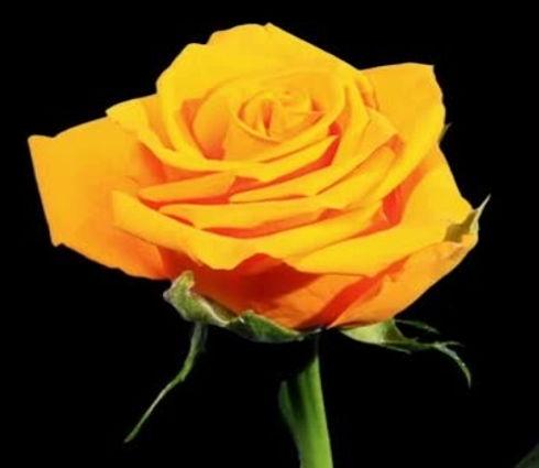 Friendly Rose.jpg